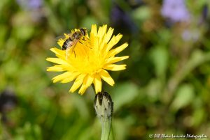Eristalis tenax, l'Eristale tenace sur fleur de Crépis -1-