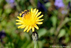 Eristalis tenax, l'Eristale tenace sur fleur de Crépis -1M-