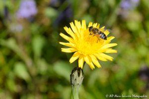 Eristalis tenax, l'Eristale tenace sur fleur de Crépis -2-