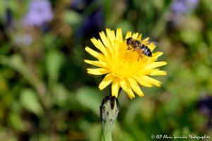 Eristalis tenax, l'Eristale tenace sur fleur de Crépis -2M-