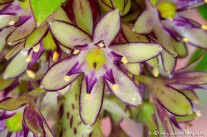 Eucomis bicolor, la fleur ananas -7-