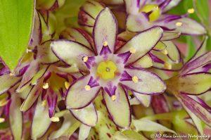 Eucomis bicolor, la fleur ananas -13-