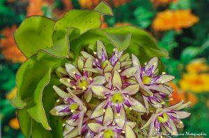 Eucomis bicolor, la fleur ananas -18-