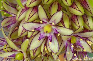 Eucomis bicolor, la fleur ananas -25-