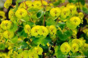 Euphorbia amygdaloïdes, l'Euphorbe des bois -2-