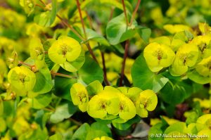 Euphorbia amygdaloïdes, l'Euphorbe des bois -3-