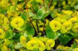 Euphorbia amygdaloïdes, l'Euphorbe des bois -4-