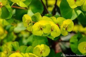 Euphorbia amygdaloïdes, l'Euphorbe des bois -5-