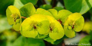 Euphorbia amygdaloïdes, l'Euphorbe des bois -5R-