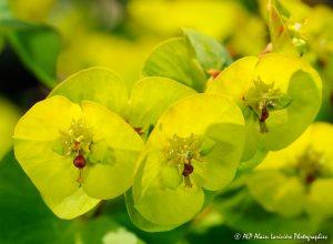 Euphorbia amygdaloïdes, l'Euphorbe des bois -6R-