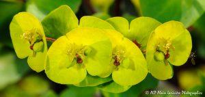 Euphorbia amygdaloïdes, l'Euphorbe des bois -7R-