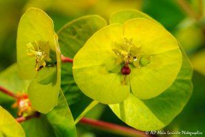 Euphorbia amygdaloïdes, l'Euphorbe des bois -8R-