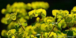 Euphorbia amygdaloïdes, l'Euphorbe des bois -10-