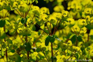 Euphorbia amygdaloïdes, l'Euphorbe des bois -11-