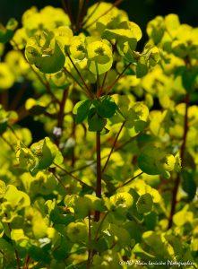 Euphorbia amygdaloïdes, l'Euphorbe des bois -12-