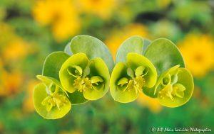 Euphorbia myrsinites, l'Euphorbe myrsinites -1-
