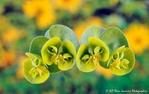 Euphorbia myrsinites, l'Euphorbe myrsinites -1M-