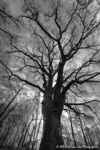 Silhouettes d'arbres -2- (Rendu N&B)