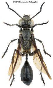 Isodontia mexicana femelle, l'Isodonte mexicaine -1-