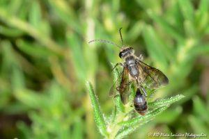 Isodontia mexicana mâle, l'Isodonte mexicaine -7-