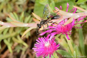 Isodontia mexicana mâle, l'Isodonte mexicaine -14-
