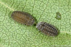 Rhyzobius forestieri (larve) -1-
