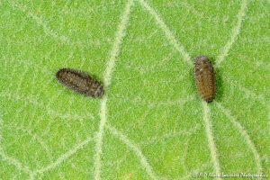 Rhyzobius forestieri (larve) -3-