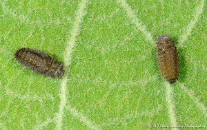 Rhyzobius forestieri (larve) -3R-