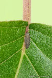 Rhyzobius forestieri (larve) -5-