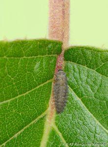 Rhyzobius forestieri (larve) -5R-